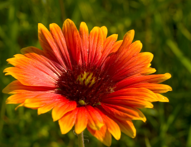 Indian Blanket {Gaillardia pulchella}<br /> Plainfield, IL<br /> © WEOttinger, The Wildflower Hunter - All rights reserved<br /> For educational use only - this image, or derivative works, can not be used, published, distributed or sold without written permission of the owner.