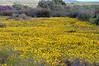 Floral carpet<br /> near Nieuwoudtville, SA<br /> August 29, 2012