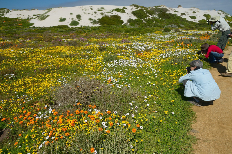 Early view of the carpet of wildflowers on sand dunes beside Atlantic Ocean<br />  in the West Coast National Park west of Langebaan, South Africa<br /> August 28, 2012