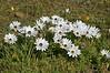 African Daisies = Osteospernum<br /> near Nieuwoudtville, SA<br /> August 30, 2012