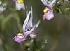 Langoorleeubekkie - Nemesia cheiranthus<br /> near Nieuwoudtville, SA<br /> August 30, 2012