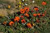 Striking group of Renostergousblom = Arctotis acaulis<br /> near Nieuwoudtville, SA<br /> August 30, 2012