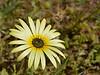 """An Osteospermum - """"African Daisy""""."""