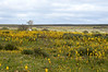 Field of Yellow Cattails - Bulbinella<br /> on the Papkuilsfontein Farm,<br /> near Nieuwoudtville, SA<br /> August 29, 2012