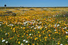 So many, many African Daisies <br /> on the Papkuilsfontein Farm<br /> near Nieuwoudtville, SA<br /> August 30, 2012