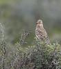 Large-billed Lark <br /> West Coast National Park west of Langebaan, South Africa<br /> August 28, 2012