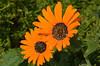 Renostergousblom = Arctotis acaulis<br /> West Coast National Park west of Langebaan, South Africa<br /> August 28, 2012