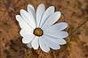 An osteospermum - African Daisy up close<br /> near Nieuwoudtville, SA<br /> August 29, 2012
