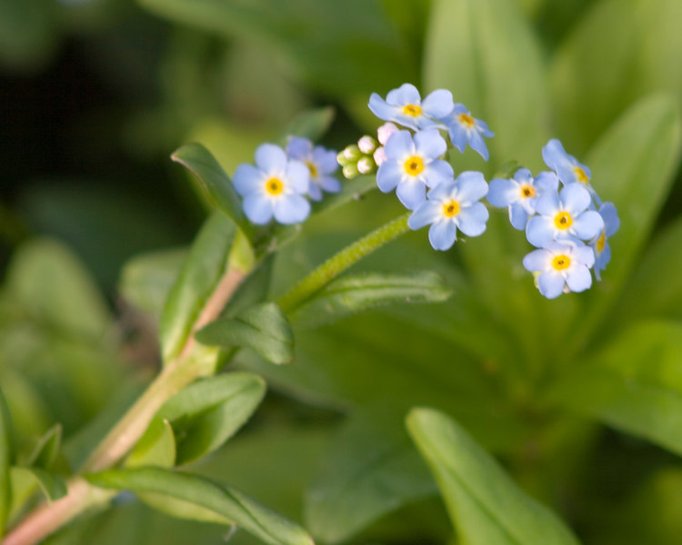Forget-me-nots {Myosotis sylvatica} <br /> Boothbay, ME<br /> © WEOttinger, The Wildflower Hunter - All rights reserved<br /> For educational use only - this image, or derivative works, can not be used, published, distributed or sold without written permission of the owner.