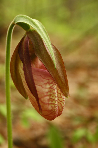 Pink Lady's Slipper {Cypripedium acaule}<br /> © WEOttinger, The Wildflower Hunter - All rights reserved<br /> For educational use only - this image, or derivative works, can not be used, published, distributed or sold without written permission of the owner.