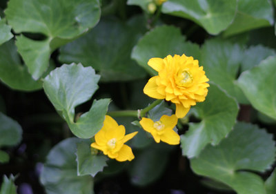 Marsh Marigold<br /> Garden in the Woods<br /> Framingham, MA<br /> © WEOttinger, The Wildflower Hunter - All rights reserved<br /> For educational use only - this image, or derivative works, can not be used, published, distributed or sold without written permission of the owner.