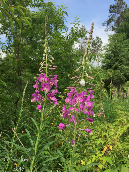Onagraceae (Willowherb) Family