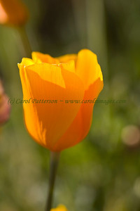 2008-03-18-MT Fig  California Poppy ~ Eschscholzia californica