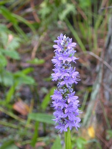 Pickerelweed - Corkscrew Swamp - FL