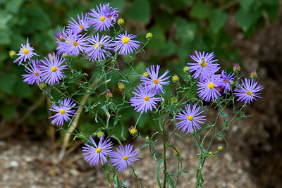 Aster - Purple - Sandia Peak NM