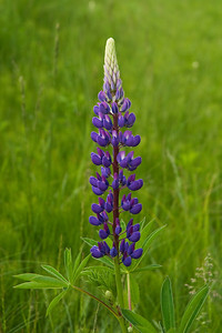Lupine - Port Wing, WI-01