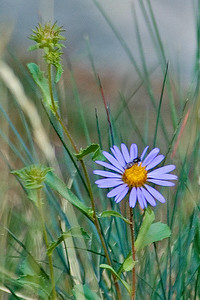 Aster - Rocky Mountain National Park -CO