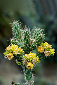 Cholla - Sandia Peak, NM
