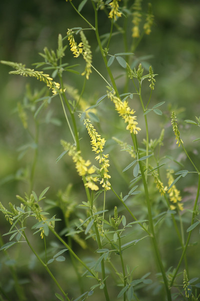 Yellow Sweet Clover {Melilotus officinalis}<br /> <br /> © WEOttinger, The Wildflower Hunter - All rights reserved<br /> For educational use only - this image, or derivative works, can not be used, published, distributed or sold without written permission of the owner.