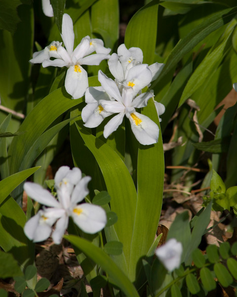 Crested Dwarf Iris {Iris cristata}<br /> Hawk Mountain, PA<br /> <br /> © WEOttinger, The Wildflower Hunter - All rights reserved<br /> For educational use only - this image, or derivative works, can not be used, published, distributed or sold without written permission of the owner.