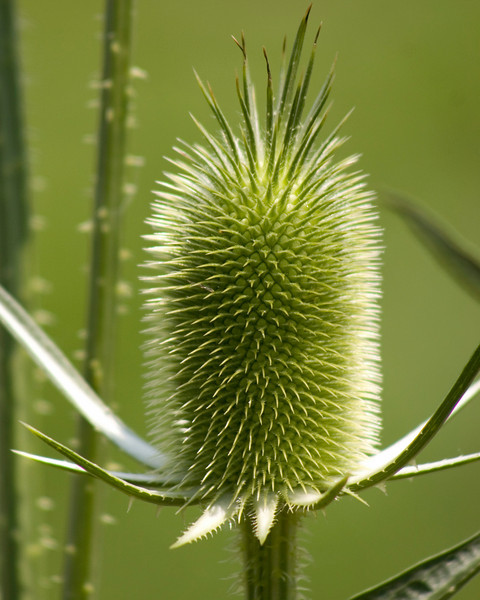 Common Teasel {Dipsacus fullonum} <br /> Cedar Creek, Allentown, PA<br /> <br /> © WEOttinger, The Wildflower Hunter - All rights reserved<br /> For educational use only - this image, or derivative works, can not be used, published, distributed or sold without written permission of the owner.