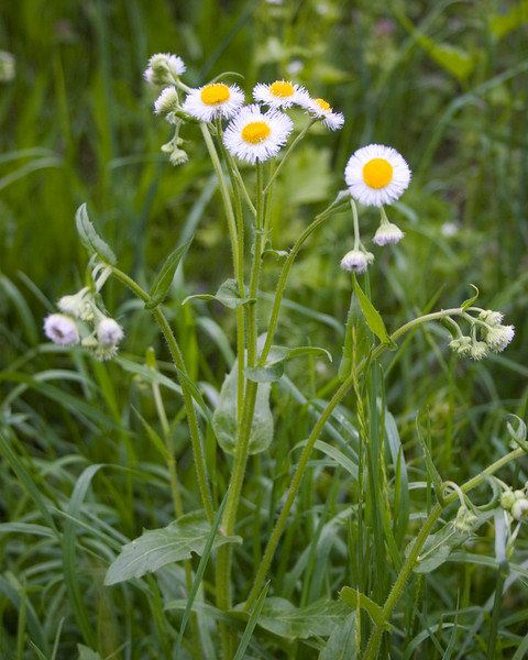 Common Fleabane {Erigeron philadelphicus} Lewistown, PA <br /> <br /> © WEOttinger, The Wildflower Hunter - All rights reserved<br /> For educational use only - this image, or derivative works, can not be used, published, distributed or sold without written permission of the owner.