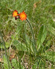 Orange Hawkweed {Hieracium aurantiacum} <br /> Union Cemetery<br /> Slatington, PA <br /> <br /> © WEOttinger, The Wildflower Hunter - All rights reserved<br /> For educational use only - this image, or derivative works, can not be used, published, distributed or sold without written permission of the owner.