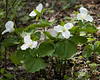 Large-flowered Trillium {Trillium grandiflorum} <br /> Hawk Mountain, PA <br /> <br /> © WEOttinger, The Wildflower Hunter - All rights reserved<br /> For educational use only - this image, or derivative works, can not be used, published, distributed or sold without written permission of the owner.