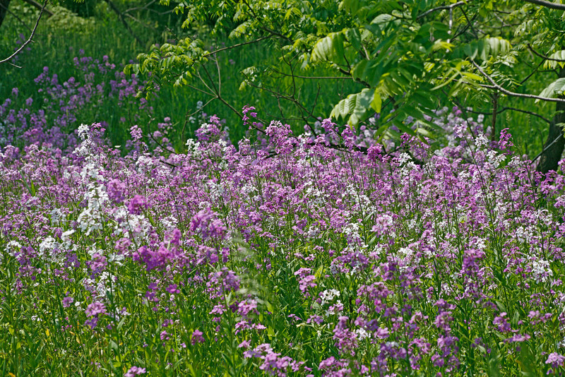 Phlox enmasse<br /> North of Kutztown, PA<br /> <br /> © WEOttinger, The Wildflower Hunter - All rights reserved<br /> For educational use only - this image, or derivative works, can not be used, published, distributed or sold without written permission of the owner.