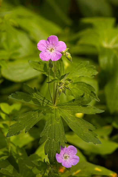 Wild Geranium {Geranium maculatum}<br /> <br /> © WEOttinger, The Wildflower Hunter - All rights reserved<br /> For educational use only - this image, or derivative works, can not be used, published, distributed or sold without written permission of the owner.