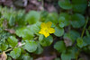 Moneywort {Lysimachia nummularia} <br /> Poe Valley, PA <br /> <br /> © WEOttinger, The Wildflower Hunter - All rights reserved<br /> For educational use only - this image, or derivative works, can not be used, published, distributed or sold without written permission of the owner.