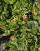 Scarlet Pimpernel {Anagallis arvenis} <br /> Union Cemetery<br /> Slatington, PA <br /> <br /> © WEOttinger, The Wildflower Hunter - All rights reserved<br /> For educational use only - this image, or derivative works, can not be used, published, distributed or sold without written permission of the owner.