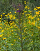Thin-leaved Sunflower {Helianthus decapetalus} with Ironweed<br /> Cedar Creek, PA<br /> <br /> © WEOttinger, The Wildflower Hunter - All rights reserved<br /> For educational use only - this image, or derivative works, can not be used, published, distributed or sold without written permission of the owner.