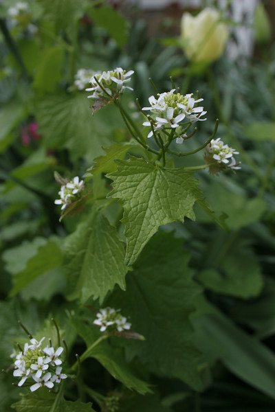Garlic Mustard {Alliaria officinalis}<br /> Cetronia, PA<br /> <br /> © WEOttinger, The Wildflower Hunter - All rights reserved<br /> For educational use only - this image, or derivative works, can not be used, published, distributed or sold without written permission of the owner.