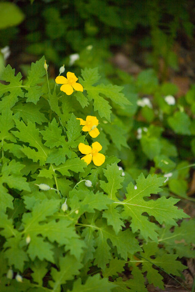 Celandine {Chelidonium majus} <br /> Hawk Mountain, PA <br /> <br /> © WEOttinger, The Wildflower Hunter - All rights reserved<br /> For educational use only - this image, or derivative works, can not be used, published, distributed or sold without written permission of the owner.