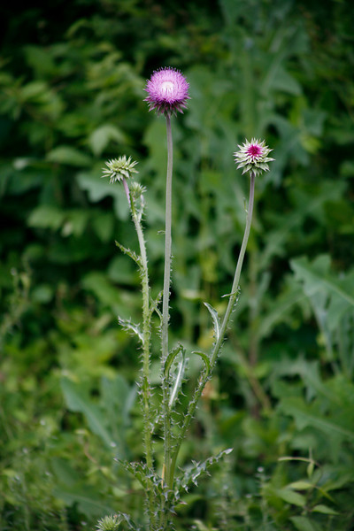 Nodding Thistle {Carduus nutans}<br /> <br /> © WEOttinger, The Wildflower Hunter - All rights reserved<br /> For educational use only - this image, or derivative works, can not be used, published, distributed or sold without written permission of the owner.
