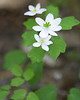Rue Anemone {Anemonella thalictroides} <br /> Pine Swamp Rd, PA<br /> <br /> © WEOttinger, The Wildflower Hunter - All rights reserved<br /> For educational use only - this image, or derivative works, can not be used, published, distributed or sold without written permission of the owner.