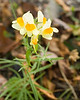 Butter and Eggs (Toadflax) {Linaria vulgaris}<br /> Northeastern PA<br /> <br /> © WEOttinger, The Wildflower Hunter - All rights reserved<br /> For educational use only - this image, or derivative works, can not be used, published, distributed or sold without written permission of the owner.