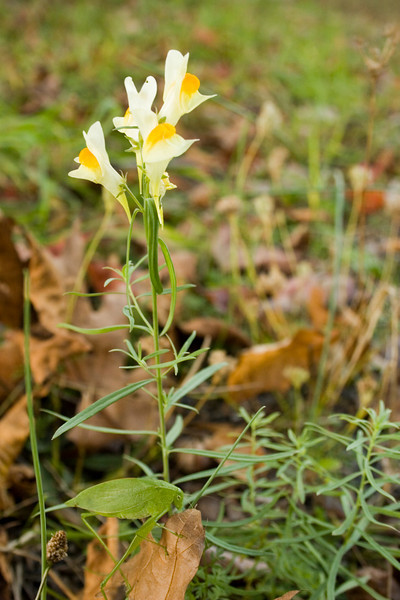 Butter and Eggs (Toadflax) {Linaria vulgaris} with Katydid<br /> Northeastern PA<br /> <br /> © WEOttinger, The Wildflower Hunter - All rights reserved<br /> For educational use only - this image, or derivative works, can not be used, published, distributed or sold without written permission of the owner.