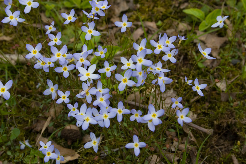 Bluets {Houstonia caerulea} <br /> McClure, PA <br /> <br /> © WEOttinger, The Wildflower Hunter - All rights reserved<br /> For educational use only - this image, or derivative works, can not be used, published, distributed or sold without written permission of the owner.
