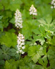 Foamflower {Tiarella cordifolia}<br /> <br /> Hawk Mountain, PA<br /> <br /> © WEOttinger, The Wildflower Hunter - All rights reserved<br /> For educational use only - this image, or derivative works, can not be used, published, distributed or sold without written permission of the owner.