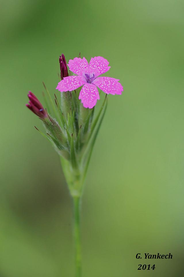 Deptford Pink, Dianthus armeria