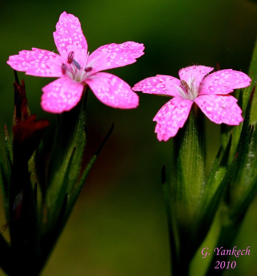 """""""Deptford Pink"""", Dianthus armeria"""