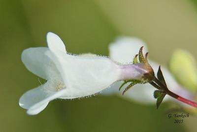 Foxglove Beardtongue