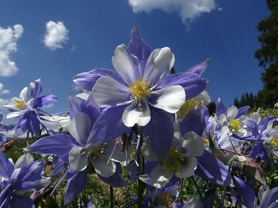 Columbine, Colorado - Aquilegia coerulea var. coerulea
