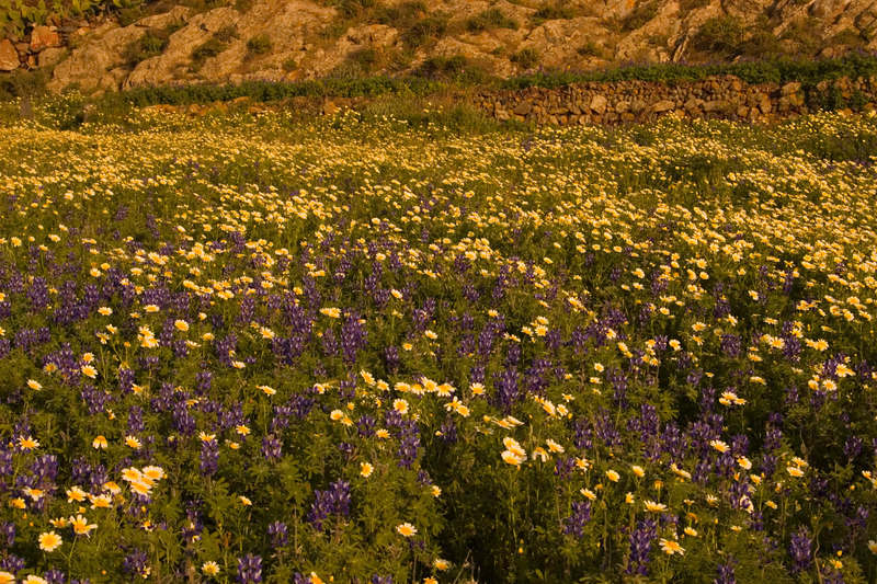 Chrysanthemum Coronarium and Lupins <br /> Santorini, Greece<br /> April 2006<br /> © WEOttinger, The Wildflower Hunter - All rights reserved<br /> For educational use only - this image, or derivative works, can not be used, published, distributed or sold without written permission of the owner.