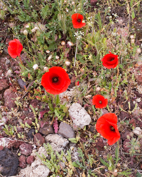 Corn Poppies<br /> Santorini, Greece<br /> April 2006<br /> © WEOttinger, The Wildflower Hunter - All rights reserved<br /> For educational use only - this image, or derivative works, can not be used, published, distributed or sold without written permission of the owner.
