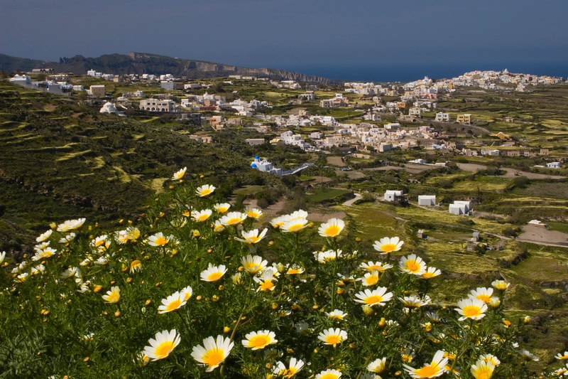Chrysanthemum Coronarium on dillside overlooking the town of Ia<br /> Santorini, Greece<br /> <br /> © WEOttinger, The Wildflower Hunter - All rights reserved<br /> For educational use only - this image, or derivative works, can not be used, published, distributed or sold without written permission of the owner.