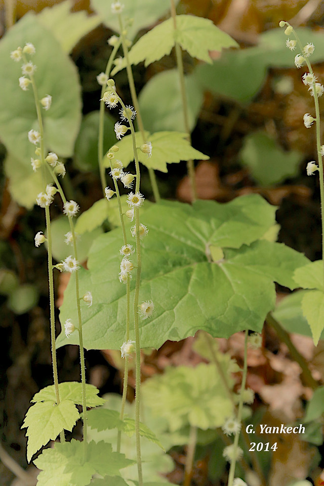 Miterwort, Mitella diphylla