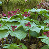 Wake-robin Trilliuim (red Trillium erectum) along Little Stony Creek - hike to Cascades.<br /> April 20, 2017